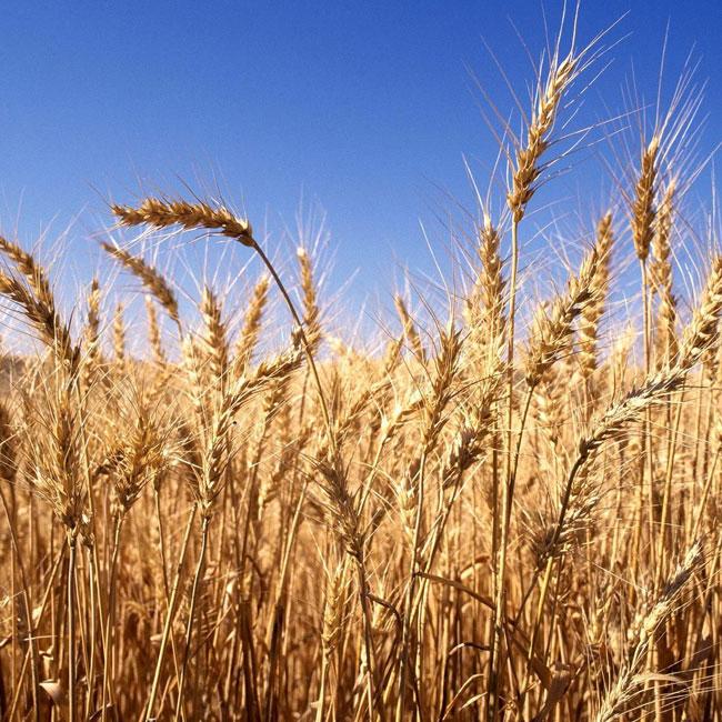 Le gluten : allergie, intolérance et sensibilité. Faisons le point.
